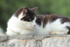 Black-and-white cat Stock Photography