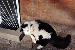 Black and white cat lying near windowsill of basement floor window with jalousie, brick wall background. Black and white cat lying near windowsill of basement royalty free stock photo