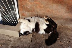 Black and white cat lying playfully with paws on top near windowsill of basement floor window, brick wall background. Black and white cat lying playfully with stock photo