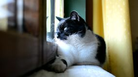 Black and white cat lying and resting at the window in the room stock video footage