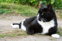 Black and white cat lying on the trail on a summer day. Close-up. Portrait of a cat black and white color