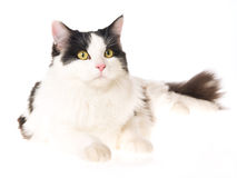 Black and white cat lying on white background. Beautiful black and white cat lying on white background Stock Photo