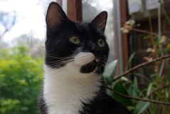 Black and White Cat. Mischievous  Black and white cat with lopsided beard Royalty Free Stock Image
