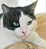 Beautiful black and white cat with aqua green eyes royalty free stock photos