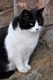 Black and white cat near house. Portrait of a black and white adult cat. Cat sitting on the ground Stock Photo