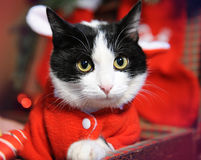 Black and white cat in a New Year`s masquerade costume of Santa Claus with ears in retro suitcase. Close-up portrait Royalty Free Stock Image