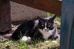 Black and white cat outdoors. Black and white adult cat sitting in grass outdoors Stock Image