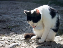 Black and white cat outdoors. Royalty Free Stock Images