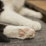 Black and white cat - white paws. This image shows a view of a black and white cat - we can see his white paws royalty free stock images