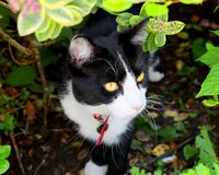 Black and white cat peeping from under hedge. A smart black and white cat peeping from under a hedge royalty free stock image