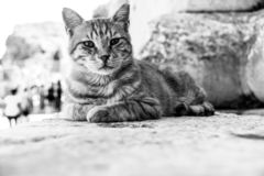 Black and white cat. A black and white photograph of a cat looking sideways with white background and space for text stock photography
