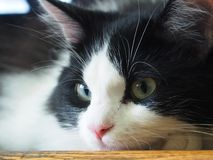 Portrait Of A black And White Cat. Black and white cat with a pink nose and innocent eyes stock photos