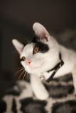 Black and white cat. Playful black and white cat on a blanket Stock Photos