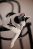 Black and white cat. Playful black and white cat on a chair Stock Photos