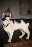 Black and white cat. Playful black and white cat on a table Royalty Free Stock Image