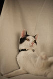 Black and white cat playing. On a blanket Royalty Free Stock Photo