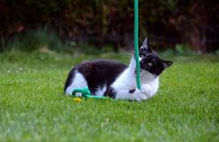 Black and white cat playing in the garden Royalty Free Stock Photo