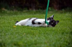 Black and white cat playing in the garden Royalty Free Stock Images