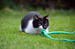 Black and white cat playing in the garden Stock Photography