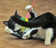 Black and white cat playing Royalty Free Stock Photos