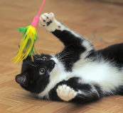Black and white cat playing Royalty Free Stock Photo