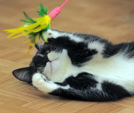 Black and white cat playing Royalty Free Stock Images