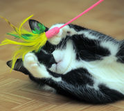 Black and white cat playing Stock Images