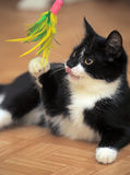 Black and white cat playing Stock Photo