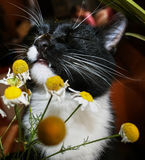 Black and white cat with pleasure is sniffing chamomile. Royalty Free Stock Photography