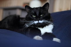 Black and white cat with plush mustache. And expressive eyes Stock Image