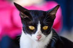 Black and White cat portrait. Royalty Free Stock Images