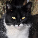 Black and white Cat portrait Stock Images