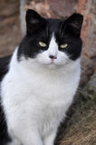 Black and white cat. Portrait of a black and white adult cat Royalty Free Stock Photography