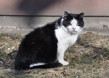 Black and white cat. Portrait of a black and white adult cat. Cat sitting on the ground Stock Photos