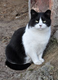 Black and white cat. Portrait of a black and white adult cat. Cat sitting on the ground Royalty Free Stock Image