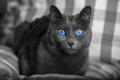 Black and white cat portrait with blue eyes / carthusian cat. A close-up portrait of a young blue russian cat/ carthusian cat with blu eyes. Grey coat. Laid on a Royalty Free Stock Image