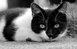 Black and white cat stock image