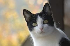 Black & White Cat Portrait Outdoor, Fall Colors Background on a. Sunny Day Royalty Free Stock Images