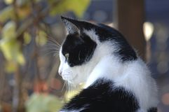 Black & White Cat Portrait Outdoor, Fall Colors Background on a. Sunny Day Royalty Free Stock Photography