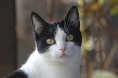 Black & White Cat Portrait Outdoor, Fall Colors Background on a. Sunny Day Stock Photography
