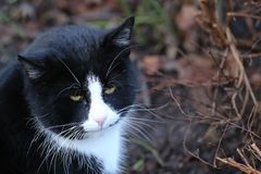Black And White Cat Portrait Royalty Free Stock Photos
