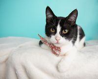 Black and White Cat Portrait in Studio and Wearing a Bow Tie. Lying Down Looking to the Left royalty free stock photography