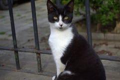 Black white cat posing Royalty Free Stock Images