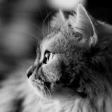Black white cat profile. Black and white portrait of the cat in the profile of the large stock photo