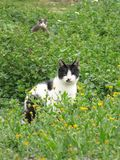 A black and white cat. A white pussycat with a black head hidden in the high grass royalty free stock photography