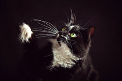 Black and white cat with a raised paw Royalty Free Stock Photos