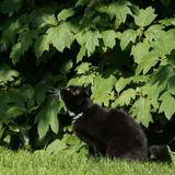 Black and white cat ready to pounce in green foliage Stock Photography
