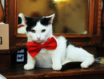 Black and white cat in a red bow tie lies imposingly on a vintage mirror Stock Photo