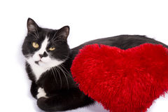 Black and white cat with a red heart pillow Stock Images