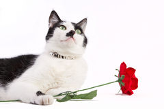 Black and white cat with red rose Royalty Free Stock Photos